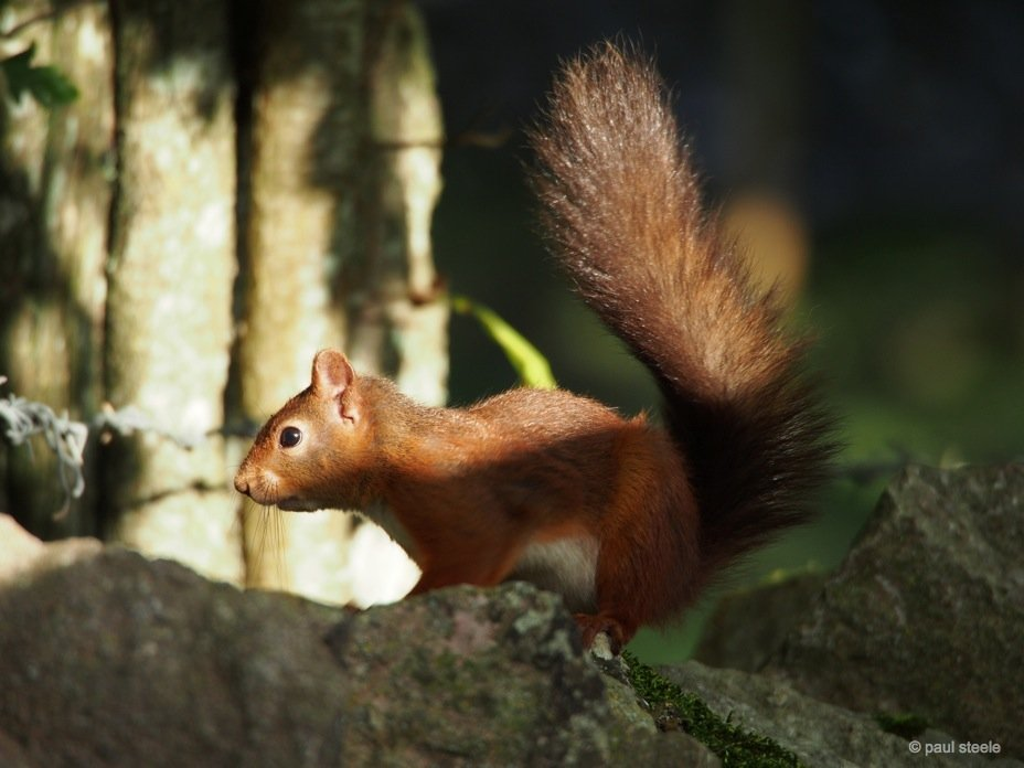 PA170120 red squirrels Time with the red squirrels of Eden Valley, Cumbria