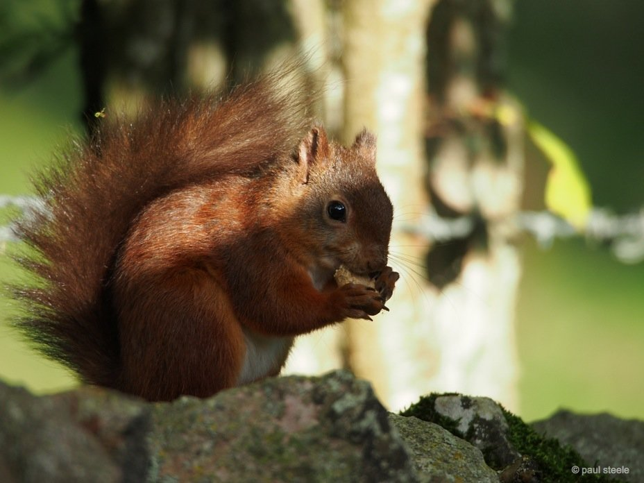 PA170128 red squirrels Time with the red squirrels of Eden Valley, Cumbria