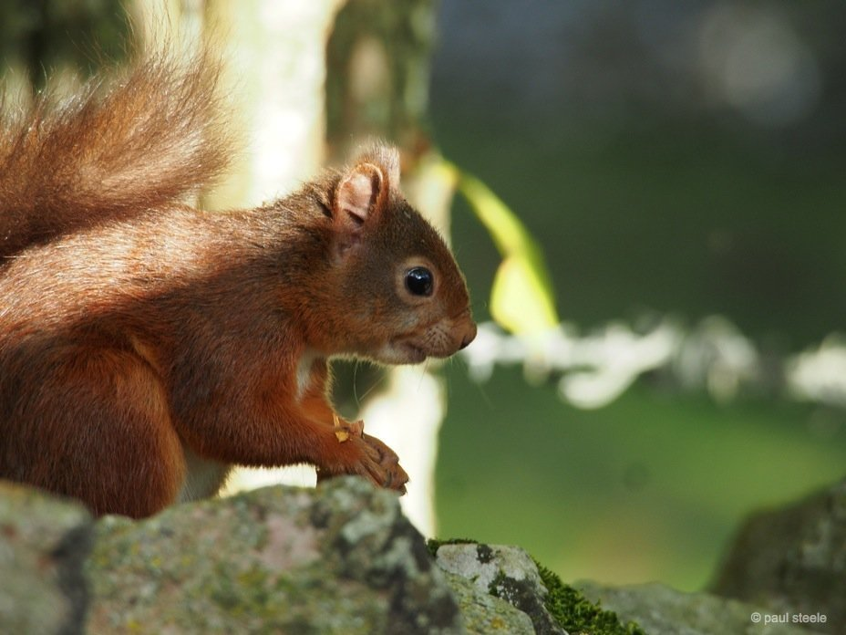 PA170137 red squirrels Time with the red squirrels of Eden Valley, Cumbria