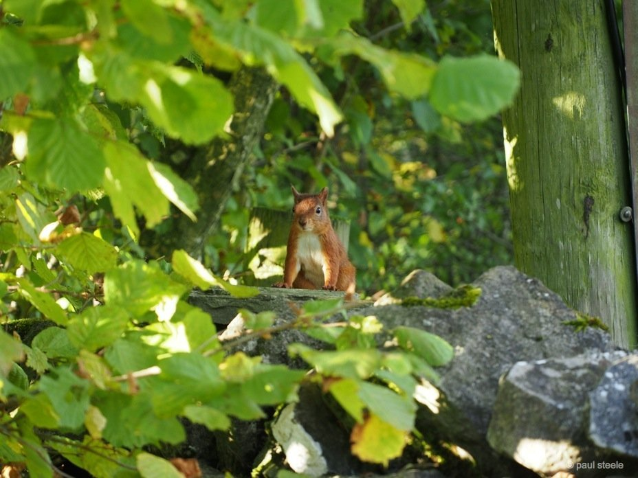 PA170149 red squirrels Time with the red squirrels of Eden Valley, Cumbria