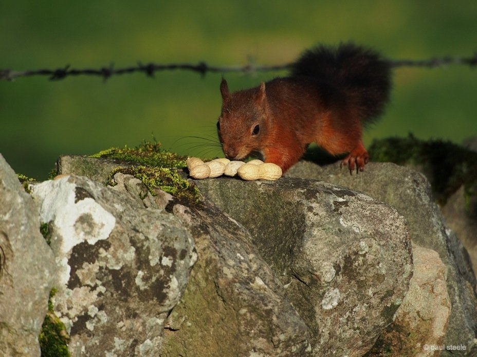PA170155 red squirrels Time with the red squirrels of Eden Valley, Cumbria