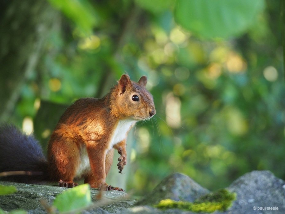PA170177 red squirrels Time with the red squirrels of Eden Valley, Cumbria