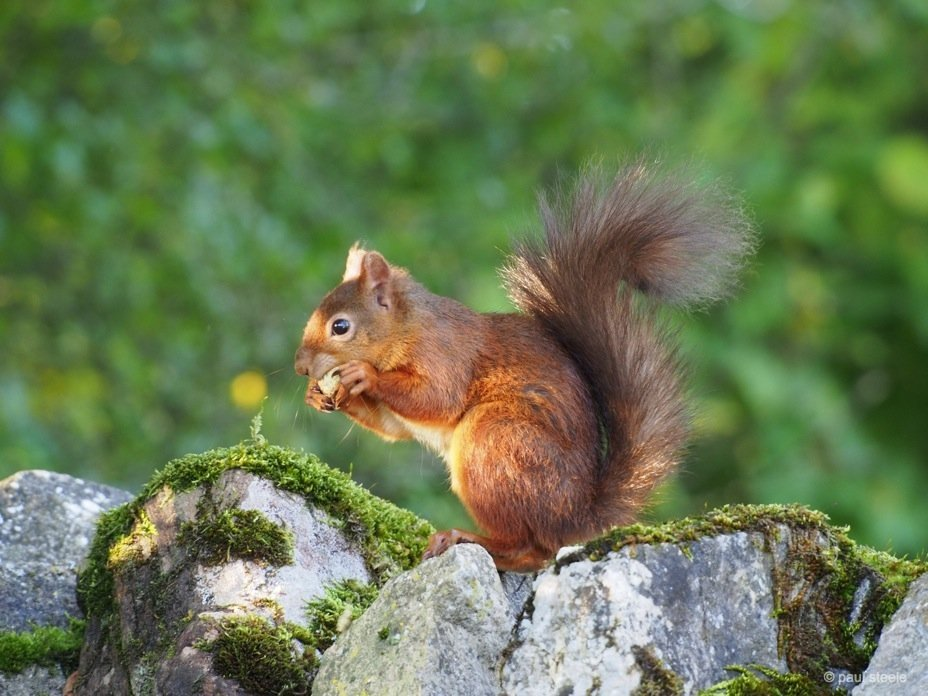 PA170188 red squirrels Time with the red squirrels of Eden Valley, Cumbria