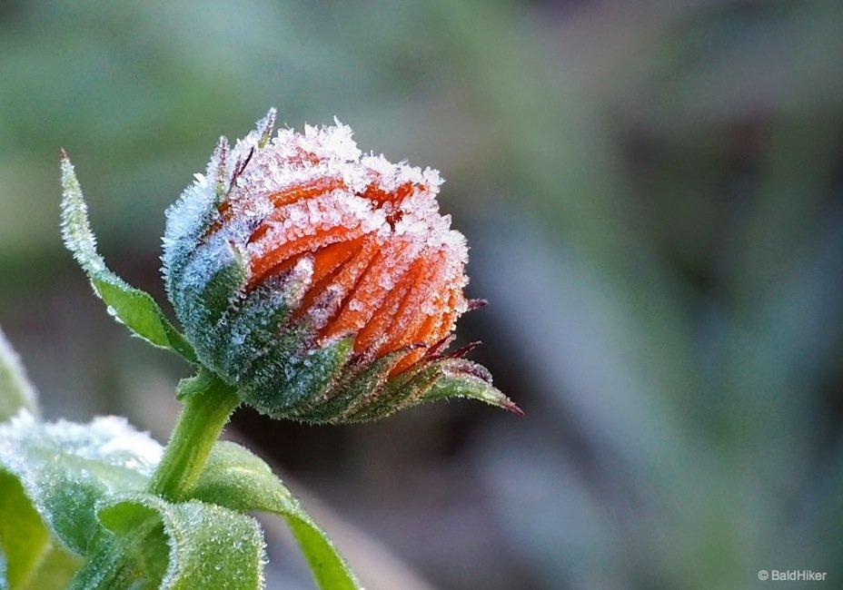 When frost grips the garden