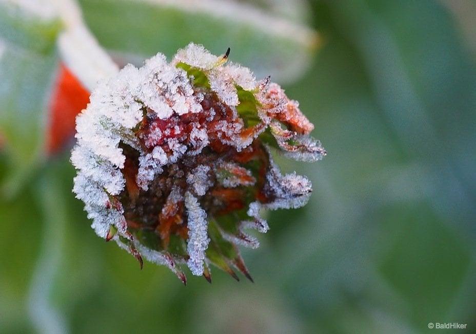 When frost grips the garden 1