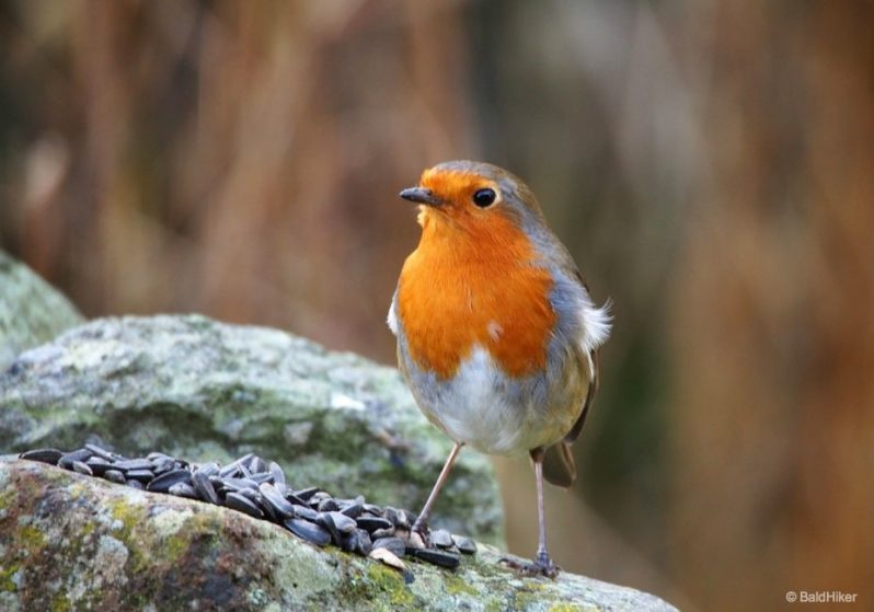 a robin on the wall