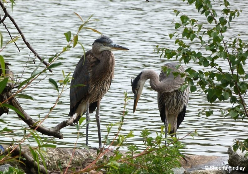 Pair-of-Herons-on-the-Lost-Lagoon Black Squirrels and Birds of Stanley Park, Vancouver