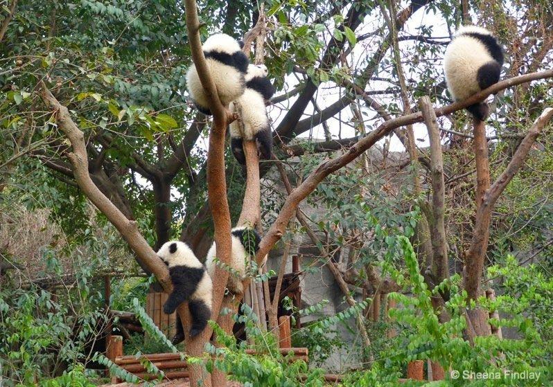 Panda-tree- Chengdu