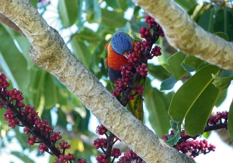 Parrot- Sydney