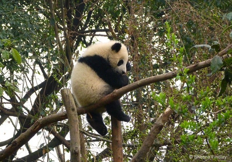 Perfectly perched Chengdu Chengdu Research Base of Giant Panda Breeding
