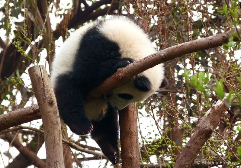 Perhaps Ill just have a snooze Chengdu Chengdu Research Base of Giant Panda Breeding