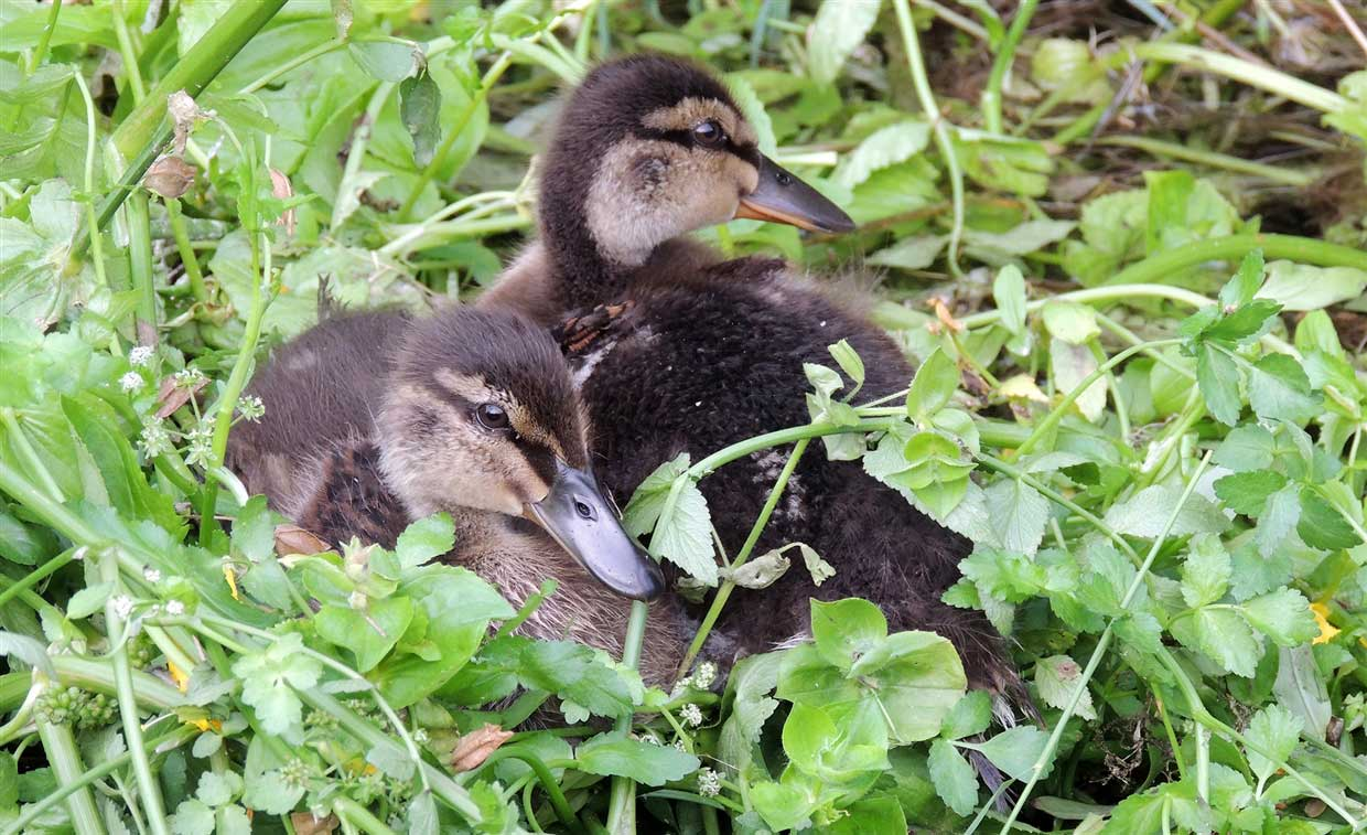 Pic-5-Teffont-Ducklings-wiltshire Wiltshire: traditional village charm of Teffont