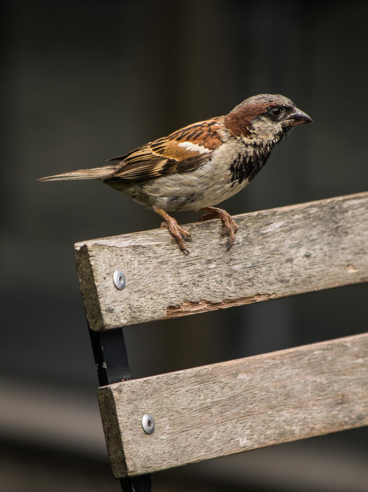 Pukaha-Sparrow Pukaha Mount Bruce: National Wildlife Centre, New Zealand