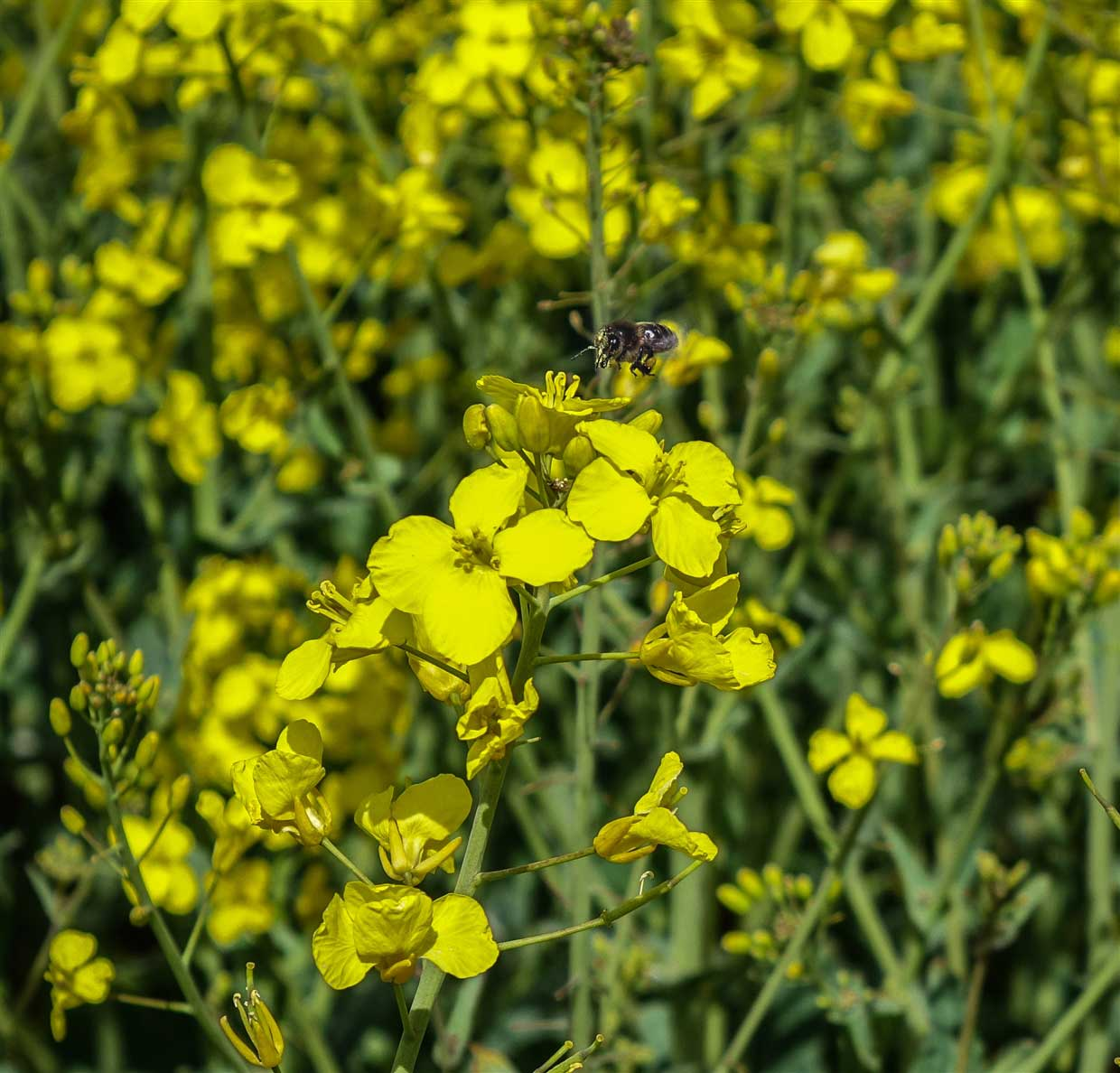 Rapeseed-10- yellow fields