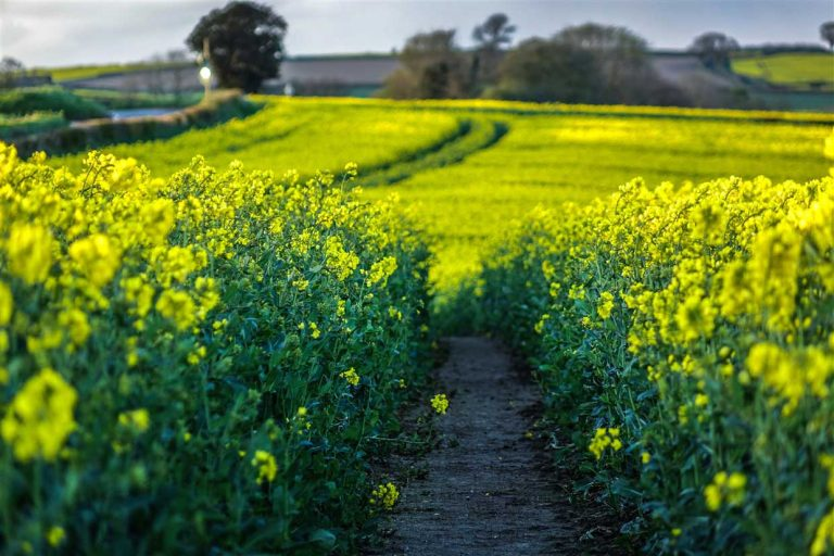Rapeseed Fields in Shropshire and the Promise of Summer