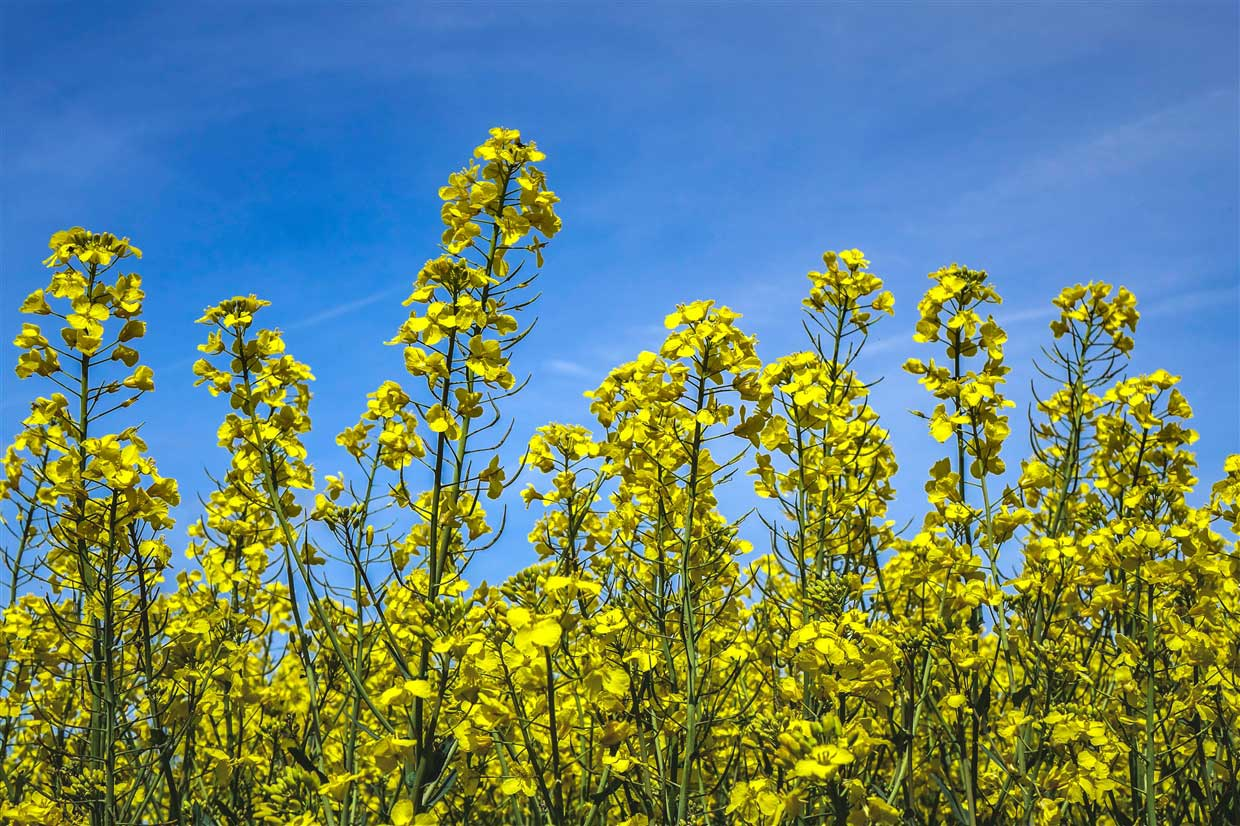 Rapeseed and blue sky