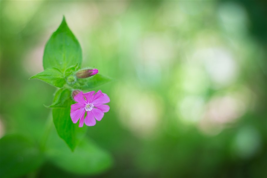 Red Campion - Silene dioica- flowers