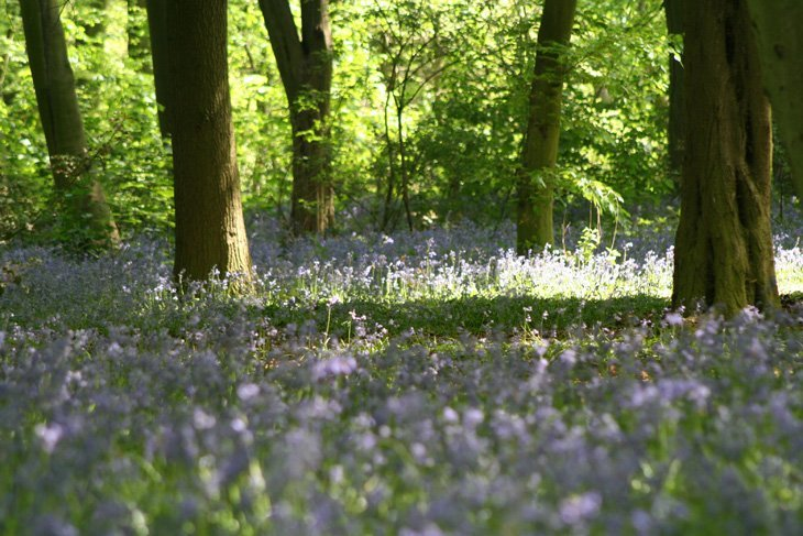 Sarah-Bluebells-2 Magical Bluebell Woods