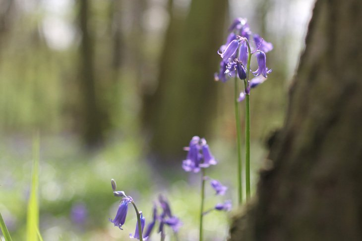 Sarah-Bluebells-3 Magical Bluebell Woods