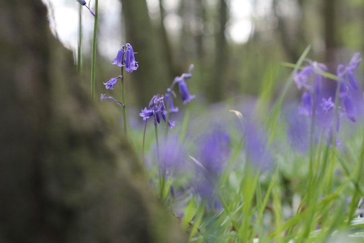Sarah Bluebells 6 Magical Bluebell Woods