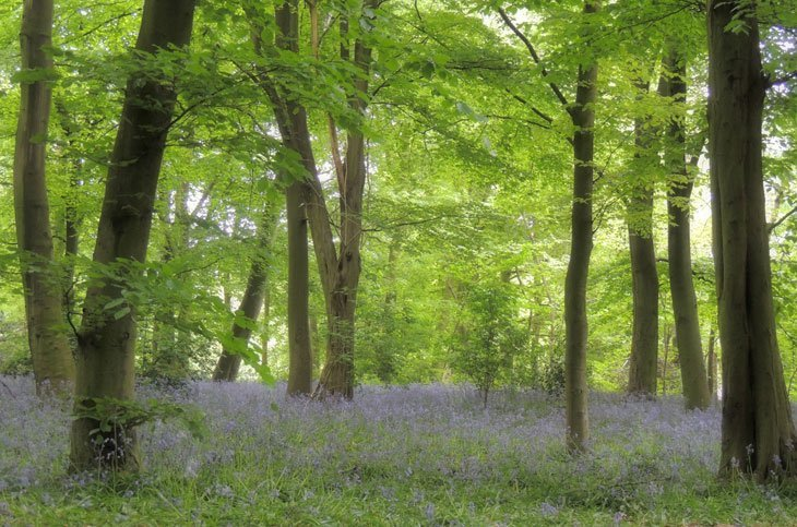 Sarah-Rees-TV-Bluebells-2 Bluebells Revisited….