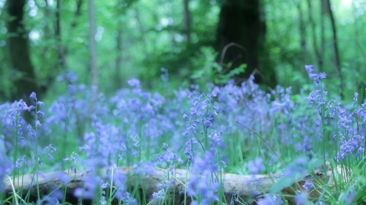 Sarah-Rees-TV-Bluebells-3 Bluebells Revisited….
