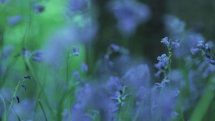 Sarah-Rees-TV-Bluebells-4 Bluebells Revisited….