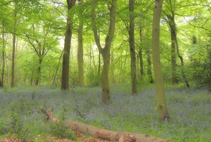 Sarah-Rees-TV-Bluebells-6 Bluebells Revisited….