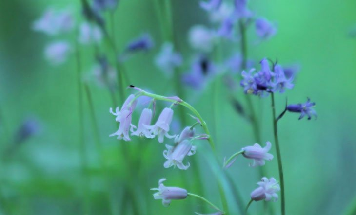 Bluebells Revisited….