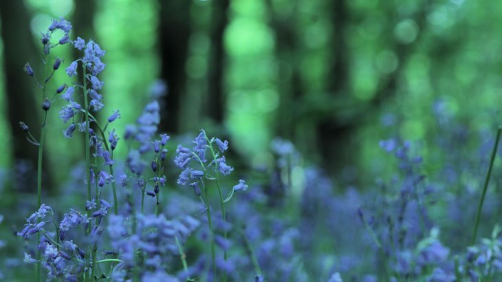 Sarah-Rees-TV-Bluebells-9 Bluebells Revisited….