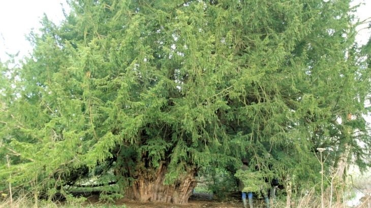 The Ankerwycke Yew – One of Britain's Oldest Trees
