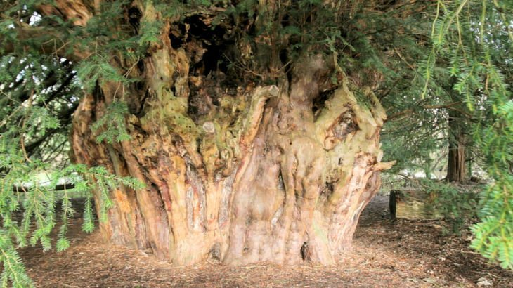 Sarah-Rees-Yew-2 The Ankerwycke Yew – One of Britain's Oldest Trees