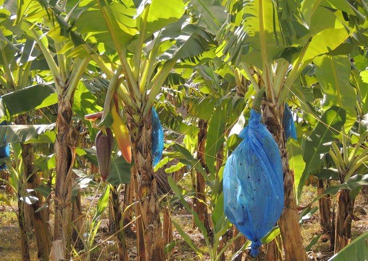 Sarah-Rees-bananas St Lucia – A Caribbean Jewel