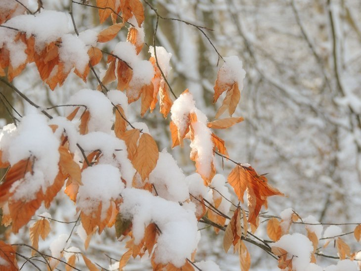 Sarah-Rees-beech-leaves-snow