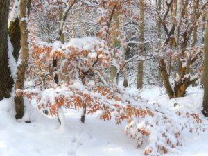 Sarah-Rees-beech-tree-snow