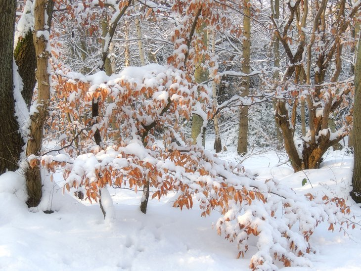 Sarah-Rees-beech-tree-snow A Winter Woodland