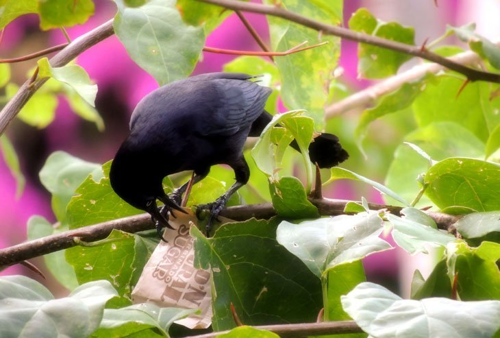 Sarah-Rees-blackbird-1 Starlight and Birdsong – A Perfect Day in St Lucia