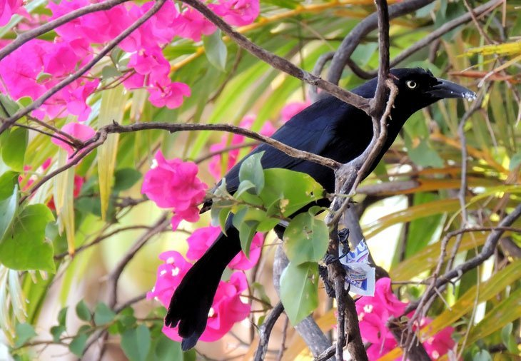 Sarah-Rees-blackbird-2 Starlight and Birdsong – A Perfect Day in St Lucia