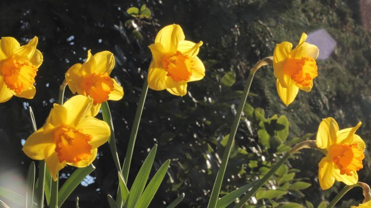 Sarah-Rees-daffodils-1 Dazzling Daffodils – The Herald of Spring