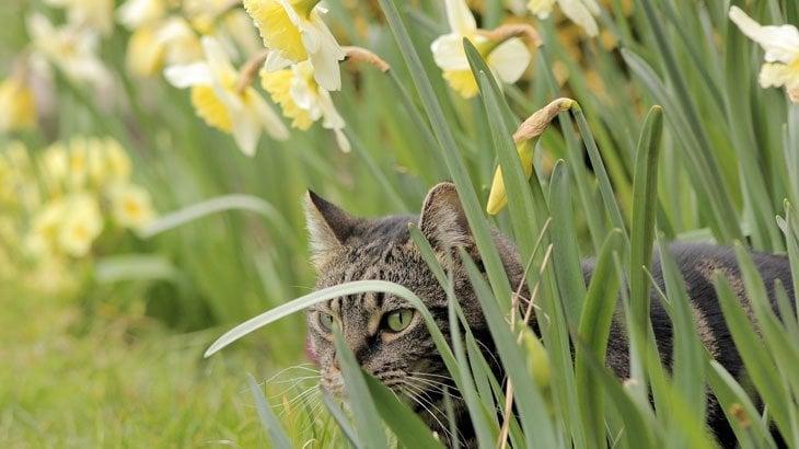 cat in the daffodils