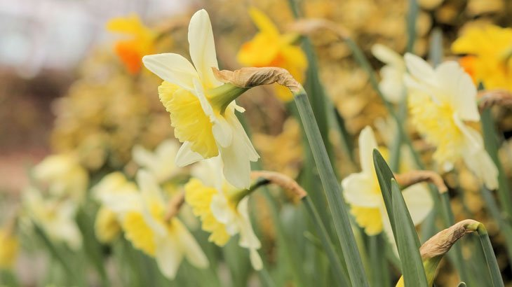 Dazzling Daffodils - The Herald of Spring