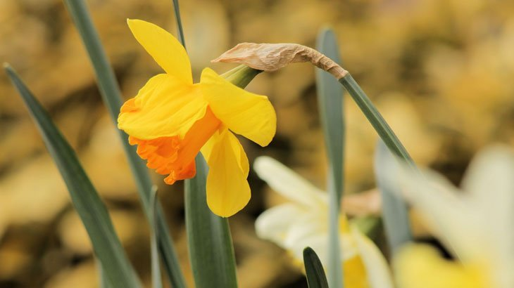 daffodil blowing in the wind