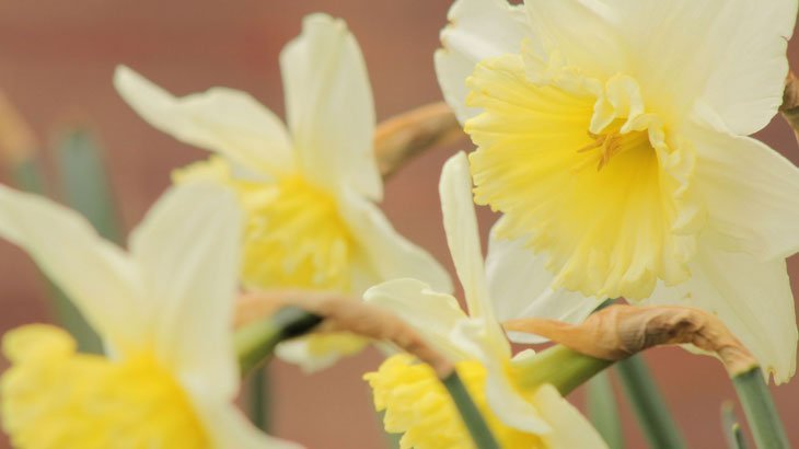 Sarah-Rees-daffodils-5 Dazzling Daffodils – The Herald of Spring