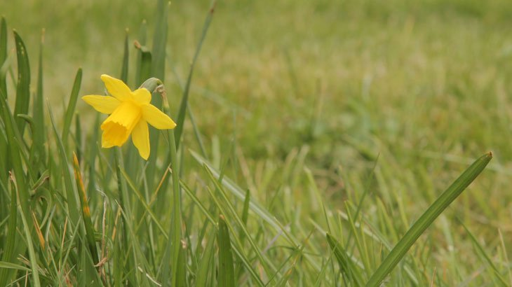 Sarah-Rees-daffodils-6 Dazzling Daffodils – The Herald of Spring