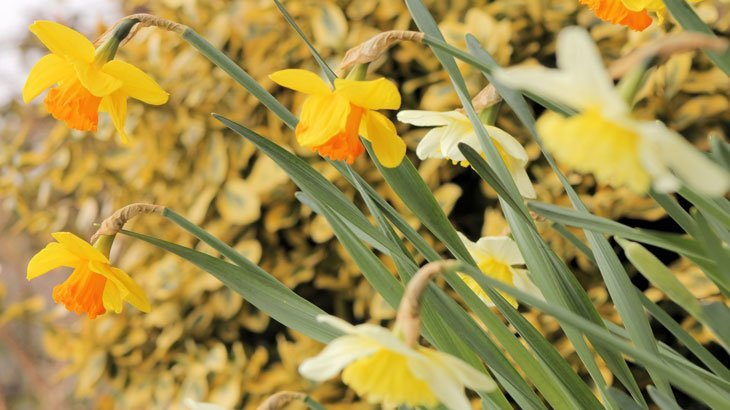 Dazzling Daffodils – The Herald of Spring
