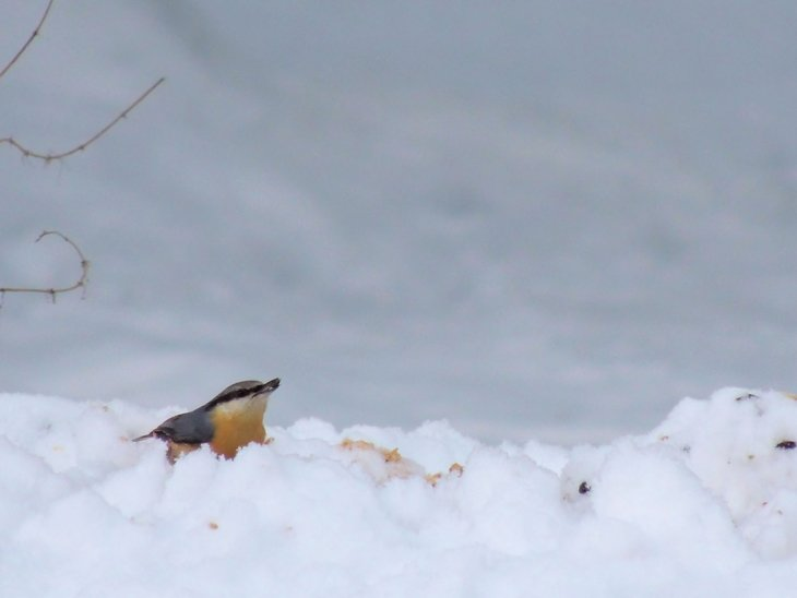 Sarah-Rees-nuthatch A Winter Woodland