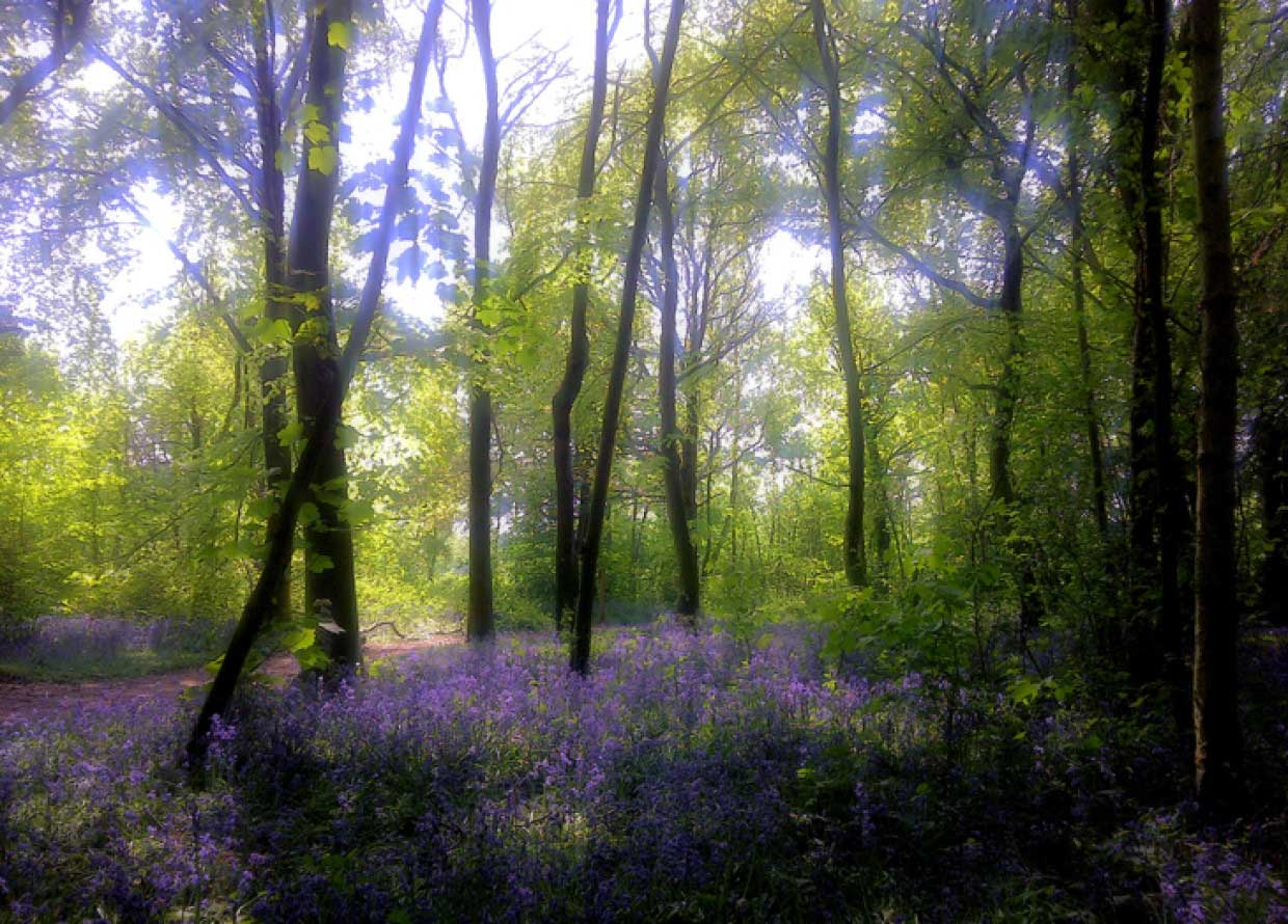 Magical Bluebell Woods