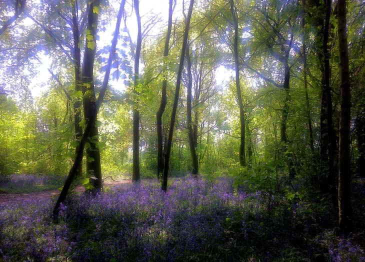 beautiful bluebell woods