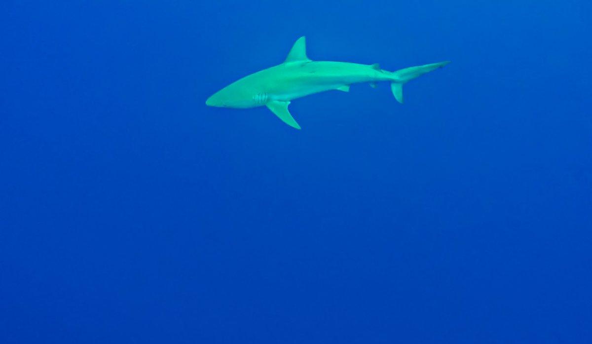 Shark-Diving6-2018 Shark Diving in Oahu, Hawaii