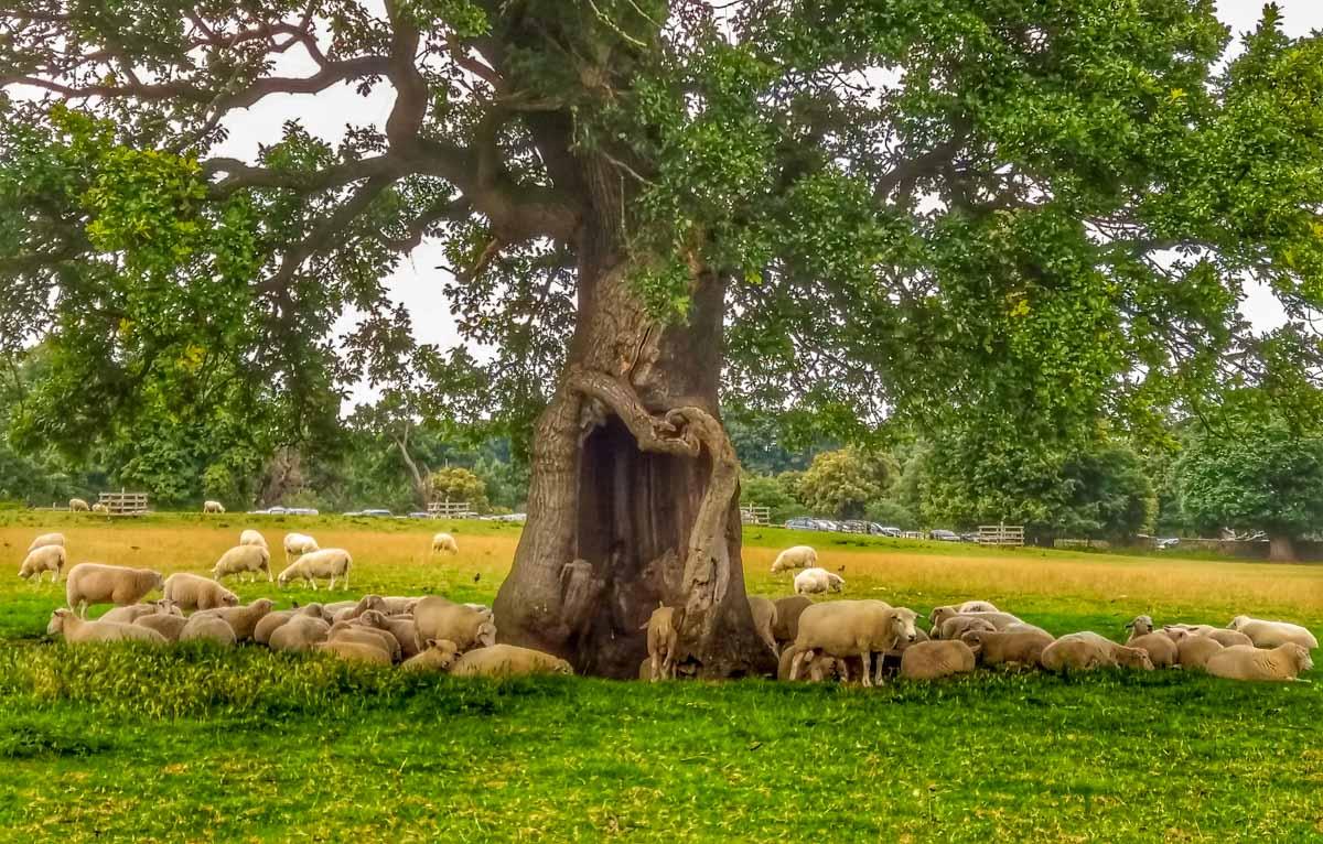 Sheep-in-Summer_ Calke Abbey Ancient Parkland Walks Through the Seasons
